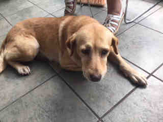 LABRADOR RETRIEVER Female  Adult  Dog #A500884#  Animal Care Services (San Antonio) - click here to view larger pic