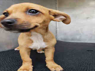 Mix-Bred CHIHUAHUA - SMOOTH COATED Female  Young  Puppy #A501092#  Animal Care Services (San Antonio) - click here to view larger pic