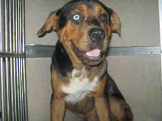 Mix-Bred CATAHOULA LEOPARD HOUND Male  Adult  Dog #A501111#  Animal Care Services (San Antonio) - click here to view larger pic