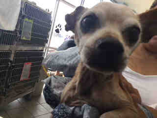 CHIHUAHUA - SMOOTH COATED Male  Adult  Dog #A501125#  Animal Care Services (San Antonio) - click here to view larger pic