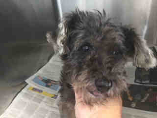 SCHNAUZER - MINIATURE Female  Adult  Dog #A501131#  Animal Care Services (San Antonio) - click here to view larger pic