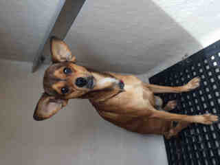 CHIHUAHUA - SMOOTH COATED Male  Adult  Dog #A501133#  Animal Care Services (San Antonio) - click here to view larger pic
