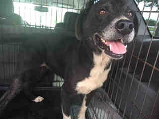 Mix-Bred BORDER COLLIE Female  Adult  Dog #A501136#  Animal Care Services (San Antonio) - click here to view larger pic