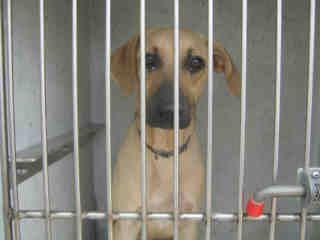 Mix-Bred GERMAN SHEPHERD DOG Male  Young  Puppy #A501162#  Animal Care Services (San Antonio) - click here to view larger pic